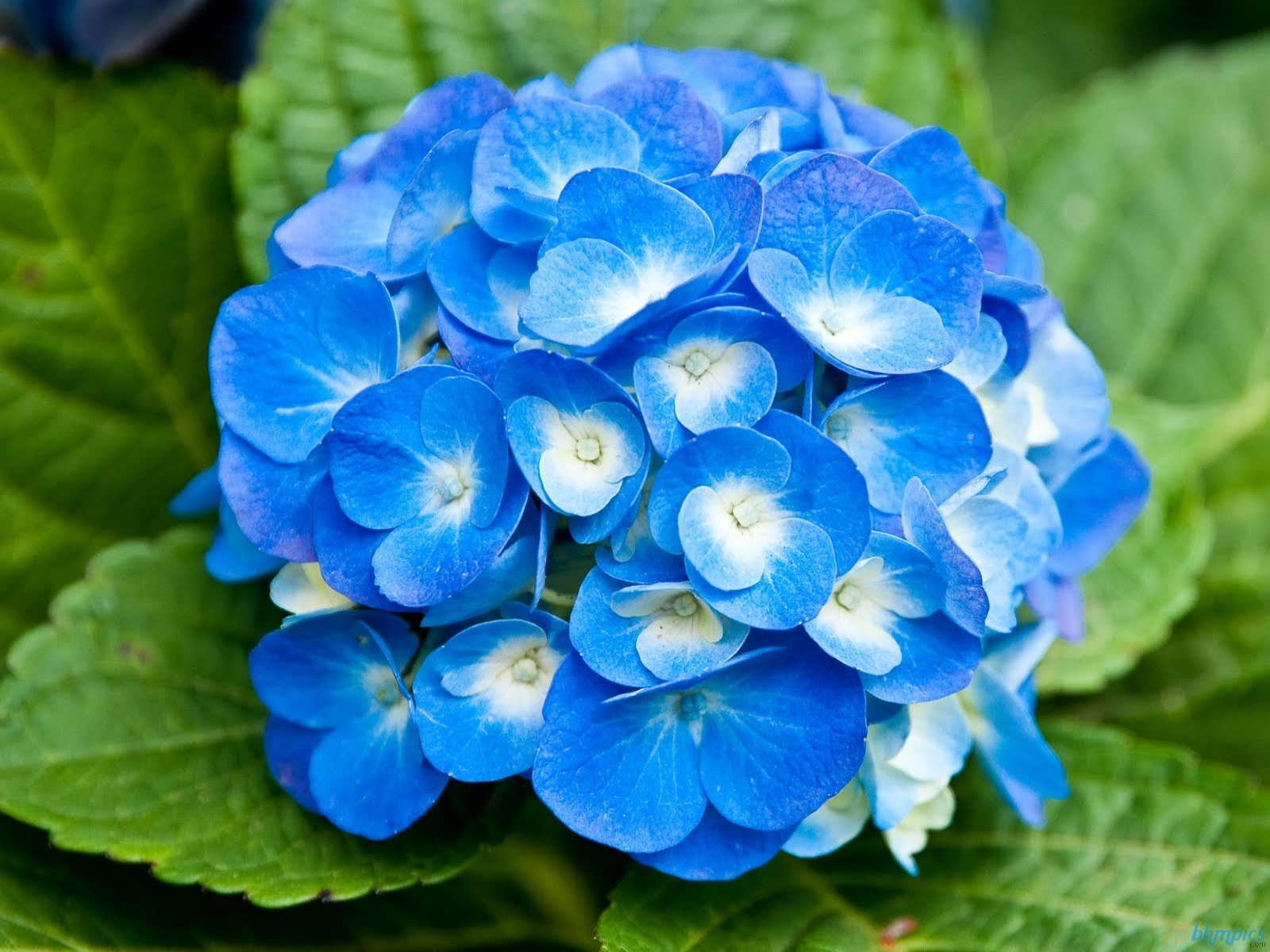 Blue Flowers 29 Wallpaper HD