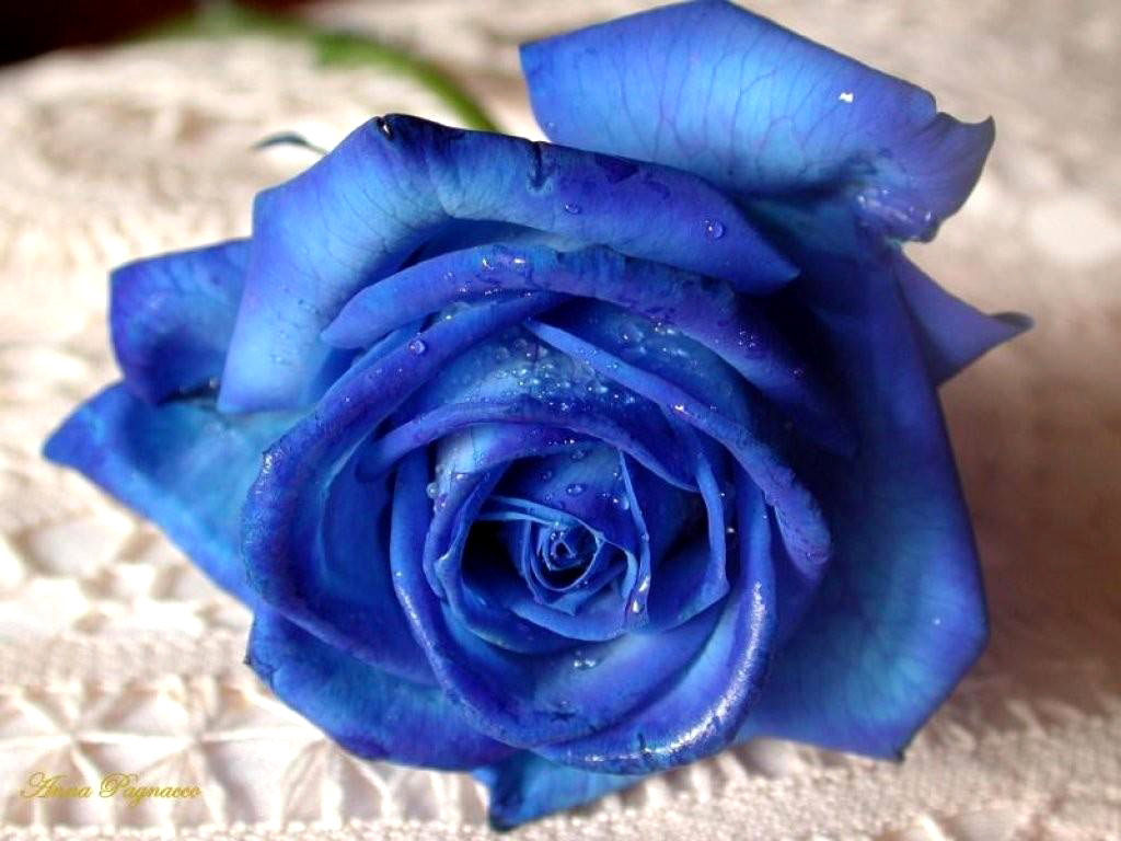 Beautiful Blue Rose Flowers for Valentine