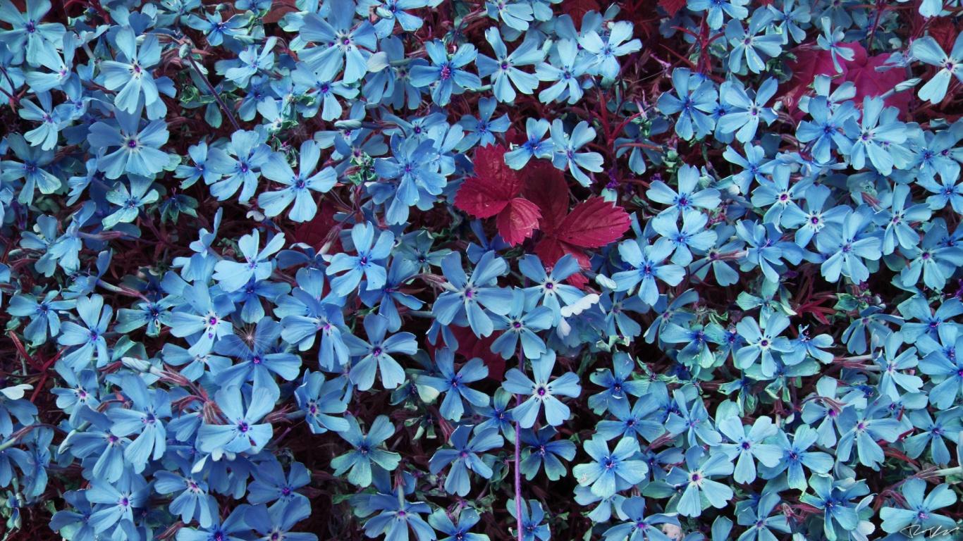 1366x768 Blue Flowers desktop 1366x768 Blue Flowers desktop PC and Mac wallpaper