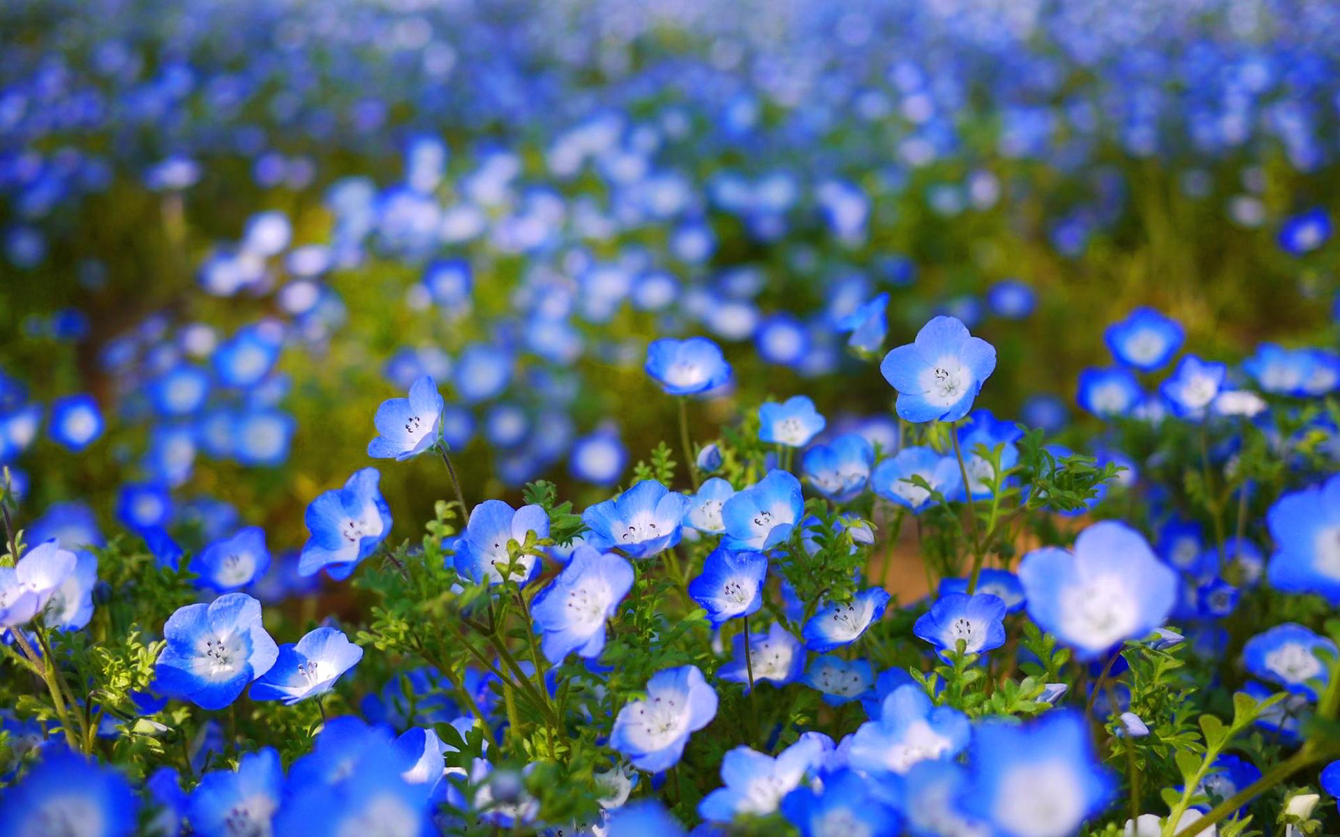 Cute Blue Flowers 26634