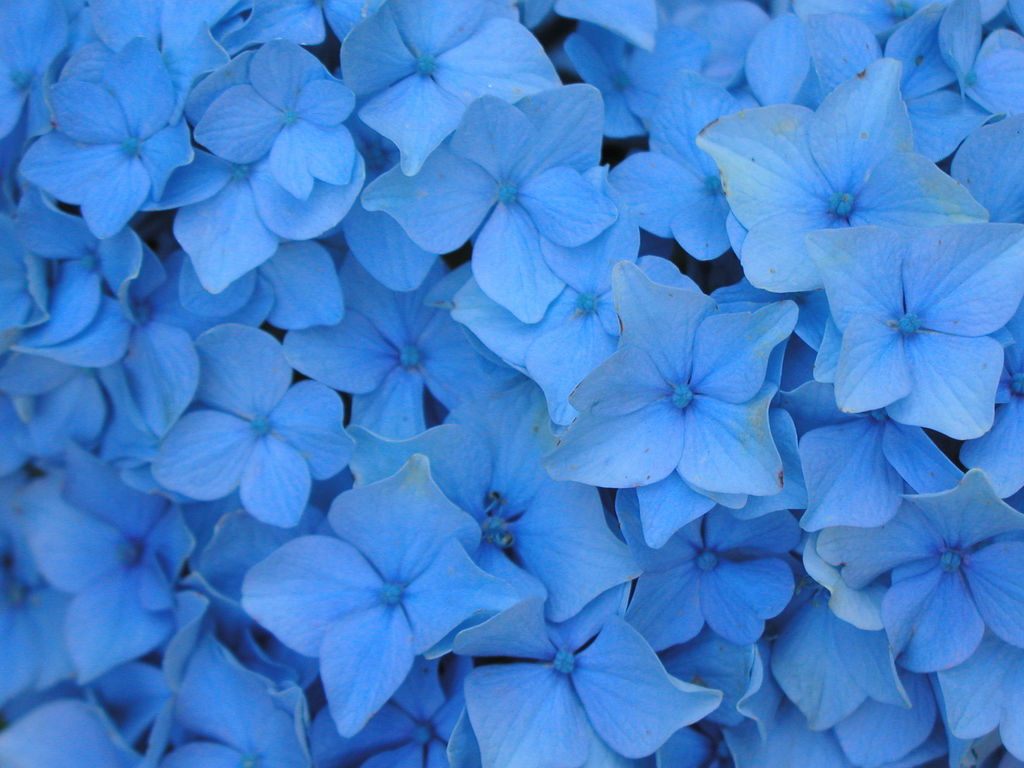 Blue Flowers Wallpaper