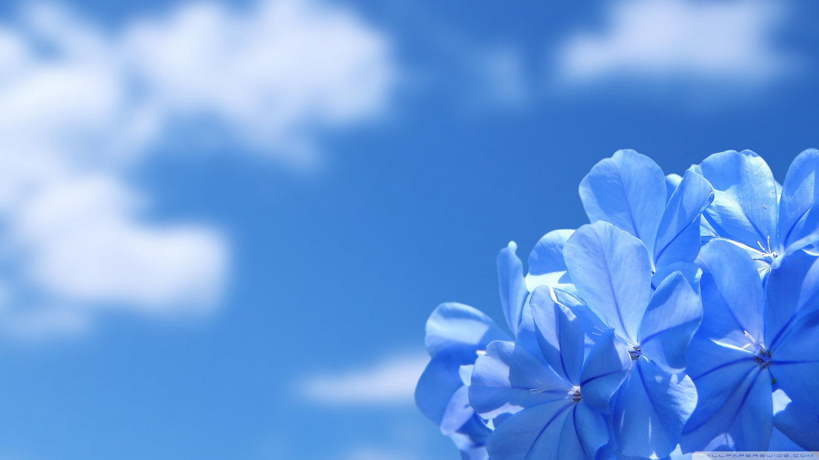Blue Flowers Wallpaper HD