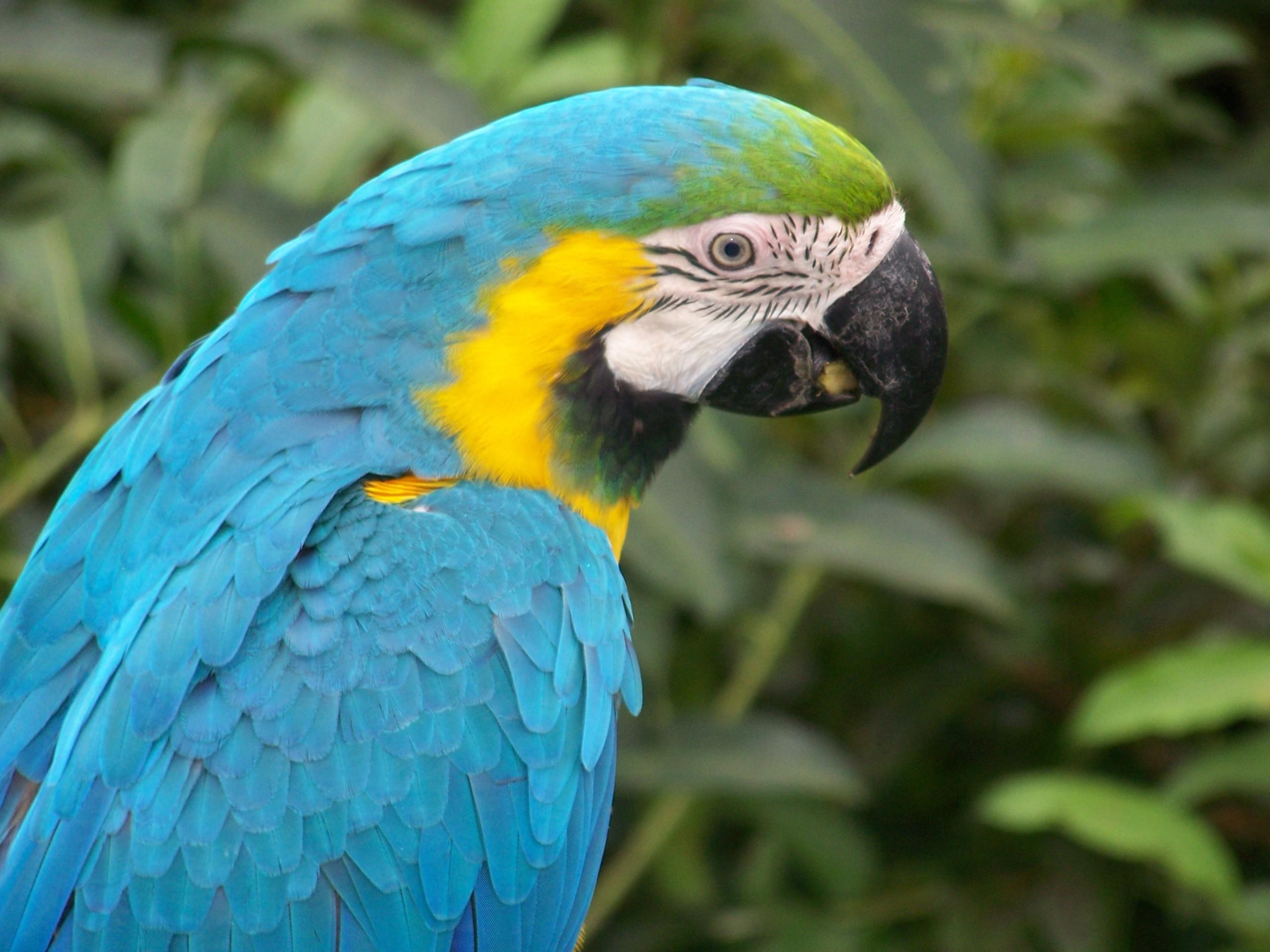 Blue Macaw Parrot 2560x1920 Wallpaper