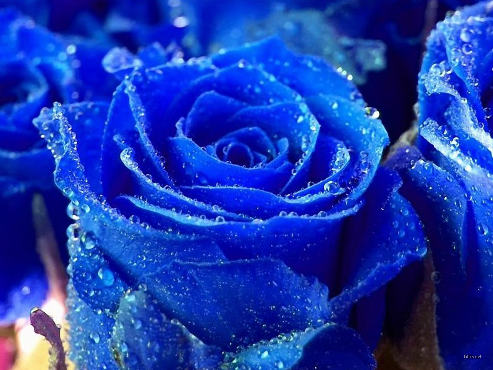 blue rose flowers wallpaper | 1600x1200 | #22636