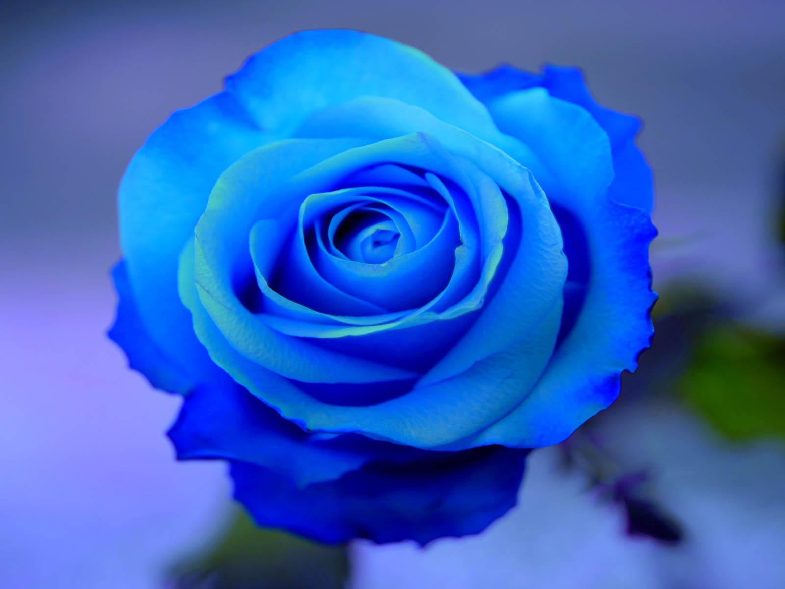 Blue Roses HD