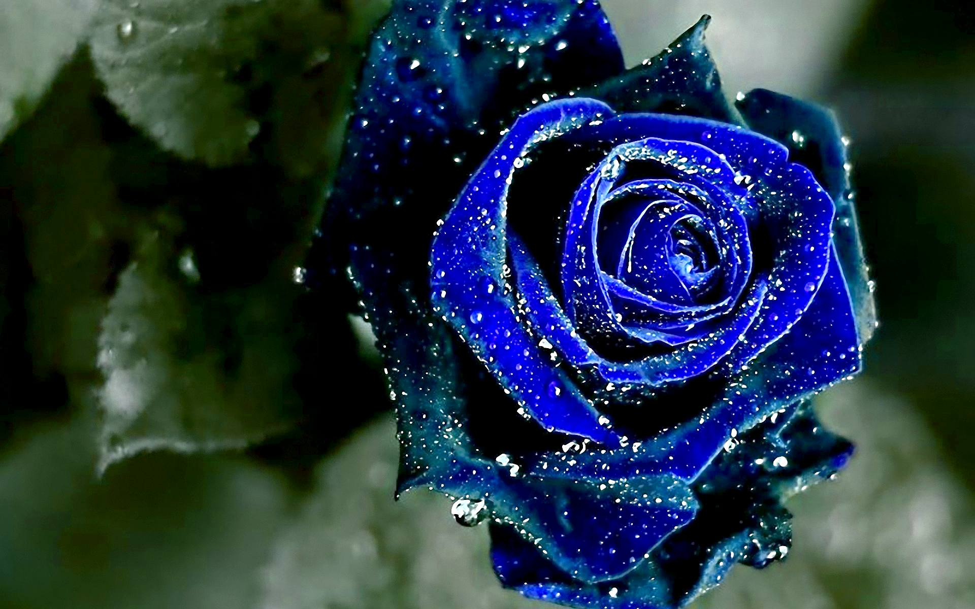 Winsome wet blue rose