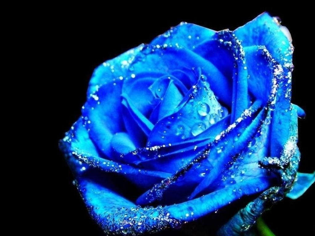 Blue Rose HD Desktop Wallpaper