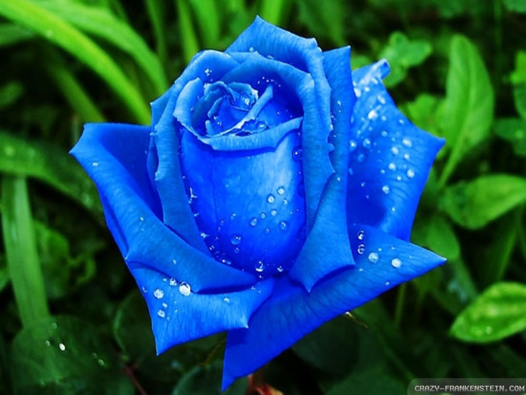 beautiful-blue-roses-wallpapers-1024x768