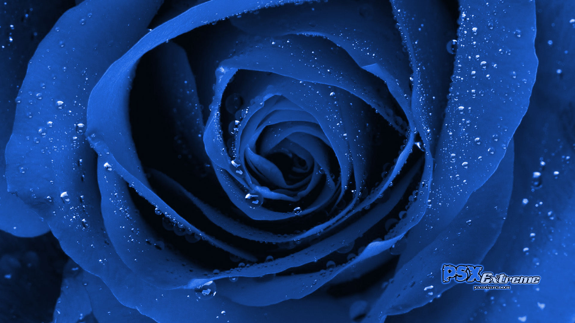 Blue Roses Wallpaper