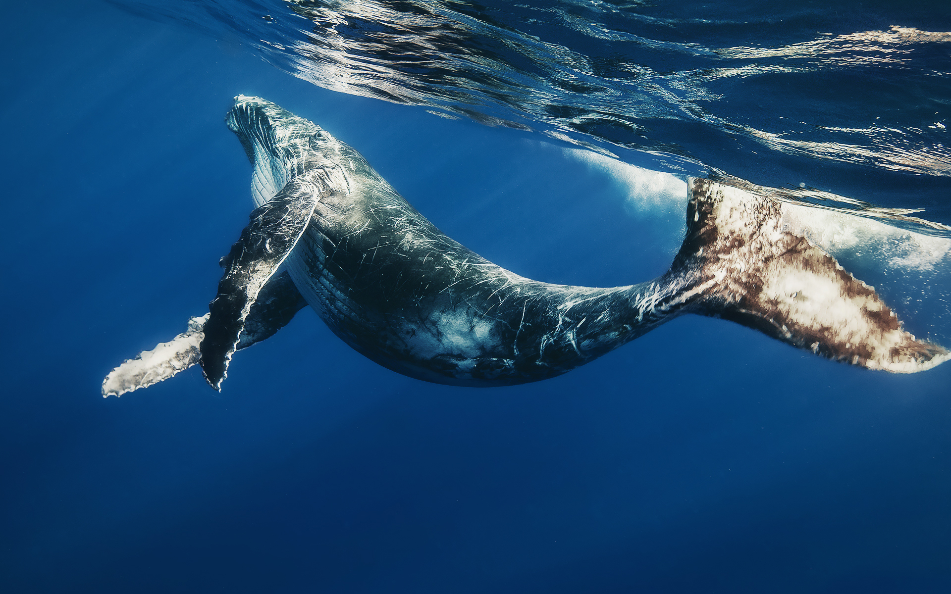 HD Wallpaper | Background ID:311271. 1920x1200 Animal Whale