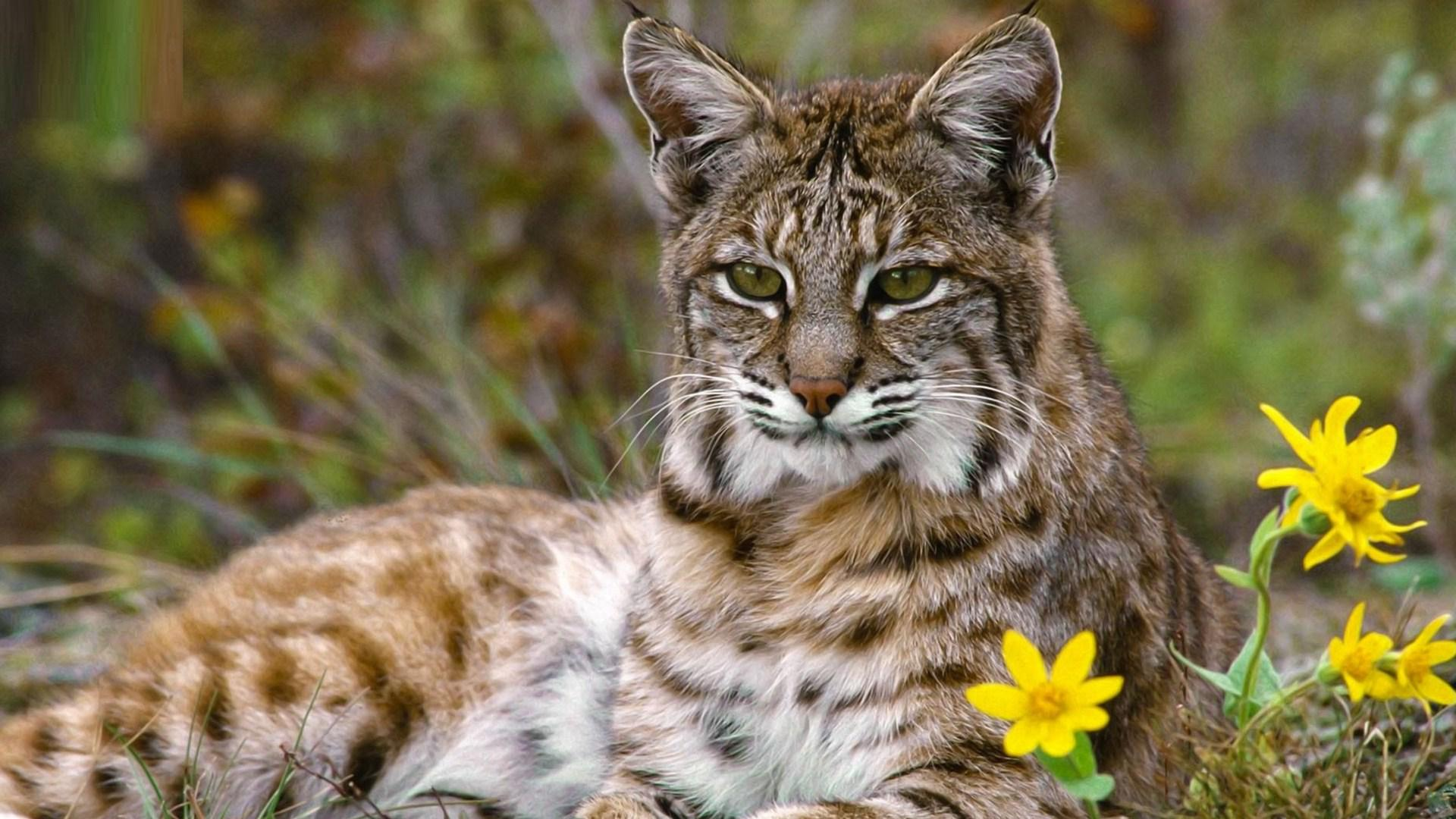 Bobcat Close Up Wallpaper