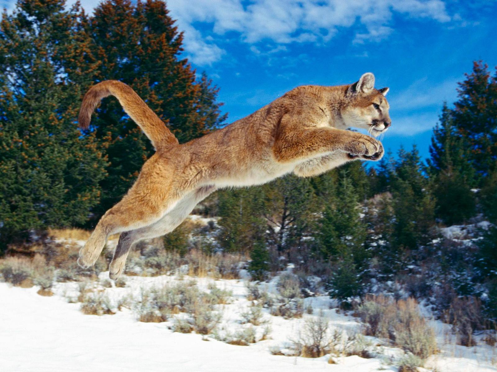 Bobcat Wallpaper: Hd Wallpapers Bobcats in Washington State Kb Jpeg 1600x1200px