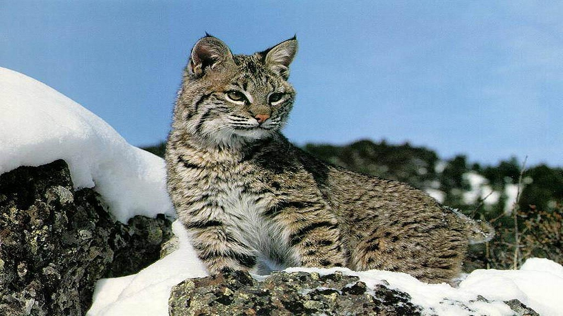 Bobcat Wallpaper