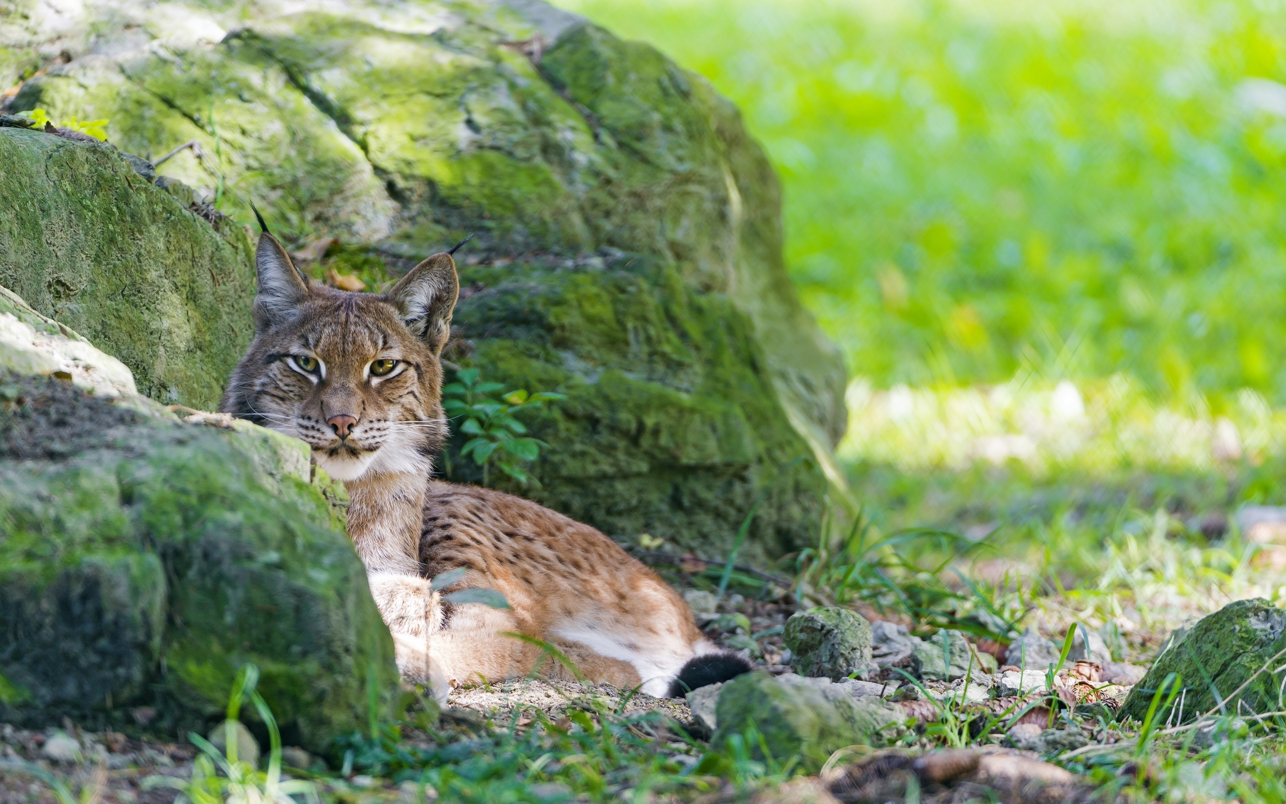 Bobcat Wallpaper; Bobcat Wallpaper ...