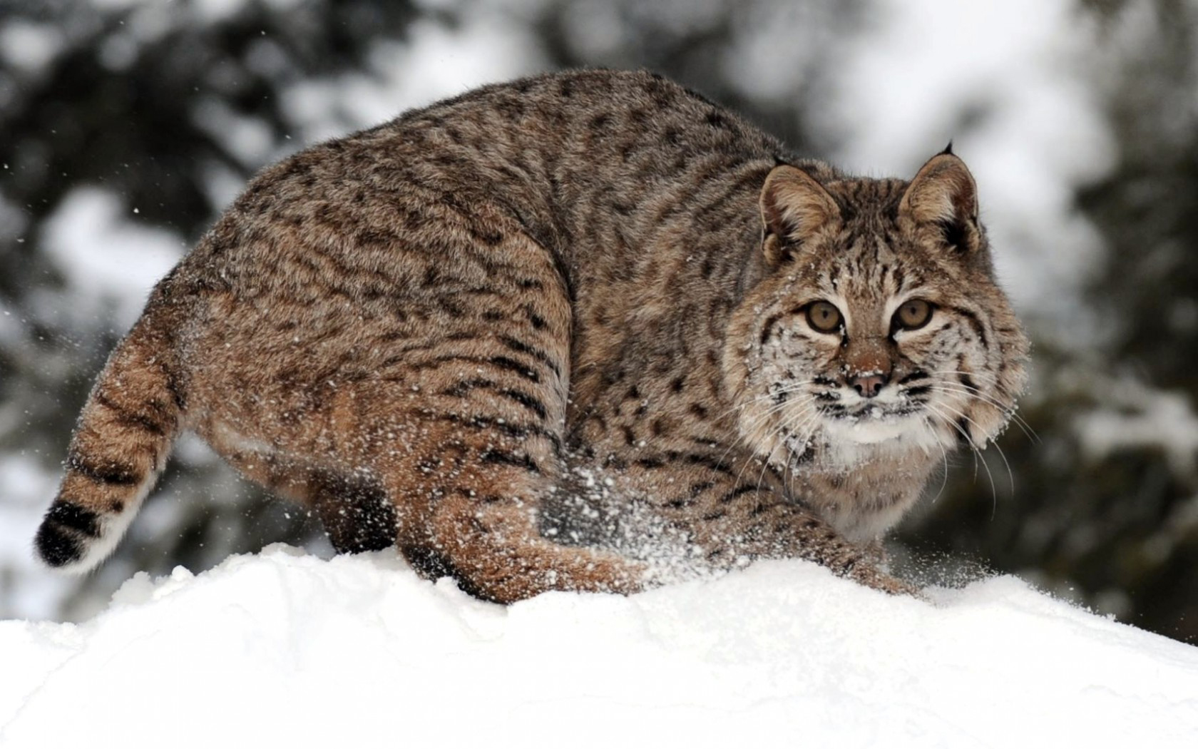 Animal - Bobcat Wallpaper