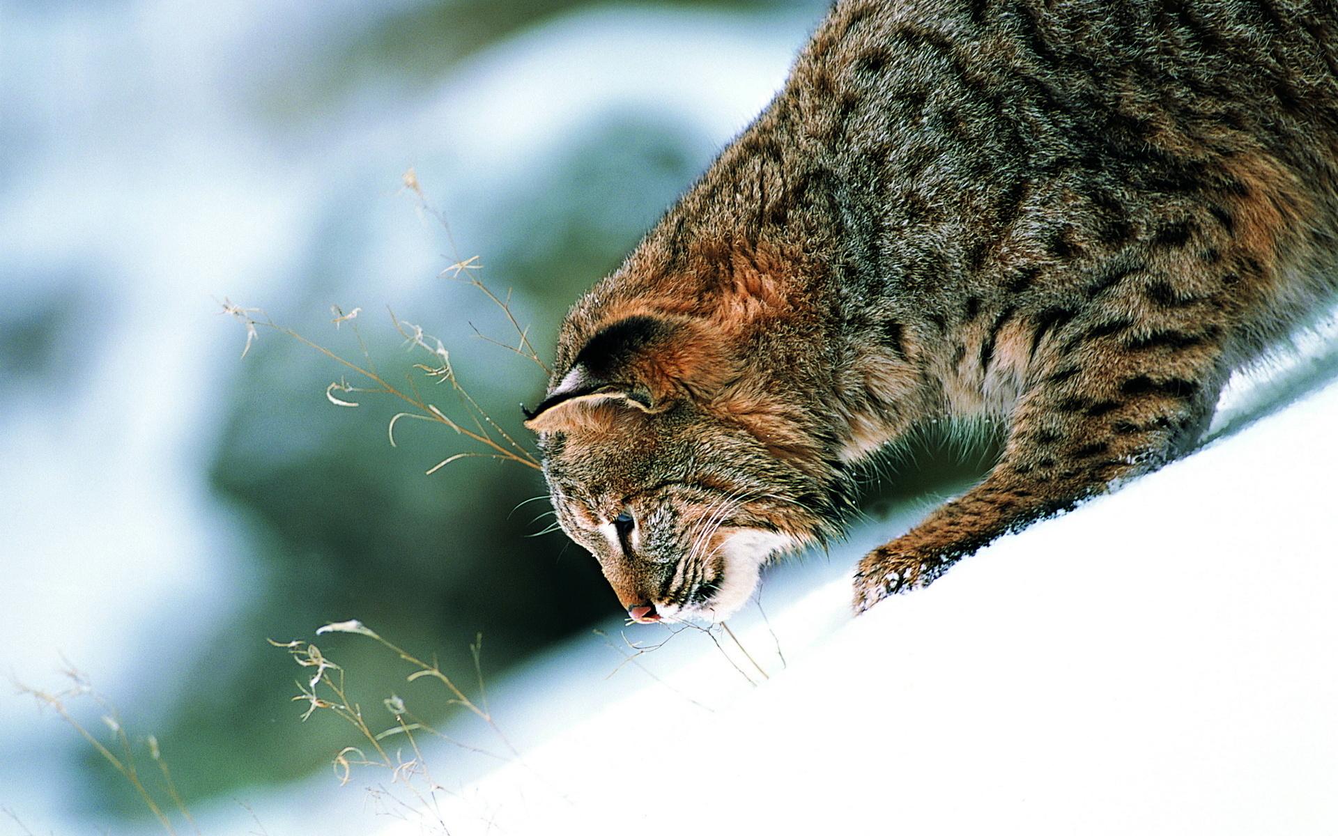 HD Wallpaper | Background ID:199782. 1920x1200 Animal Bobcat