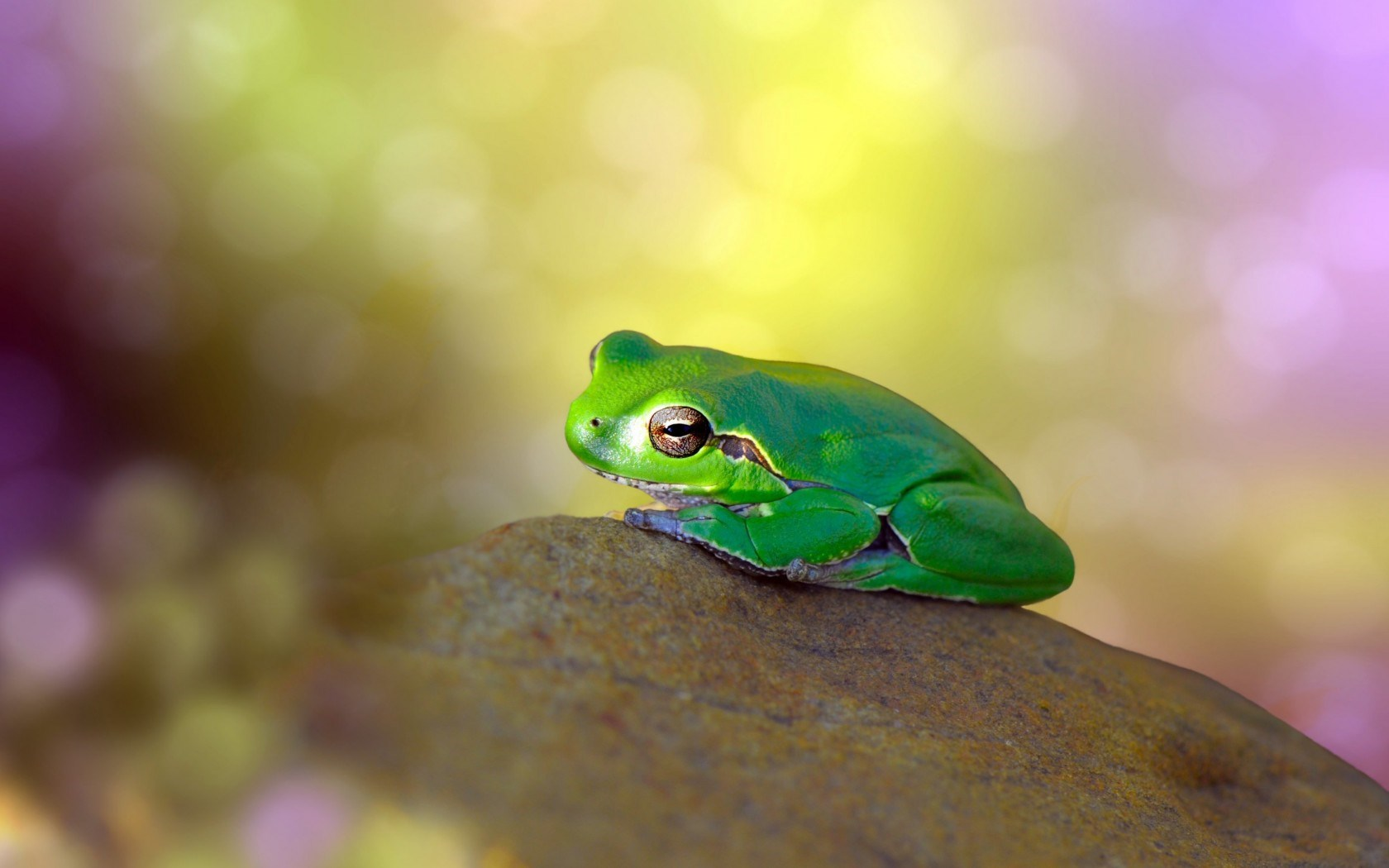 Frog Green on Stone Bokeh Colorful Background HD Wallpaper
