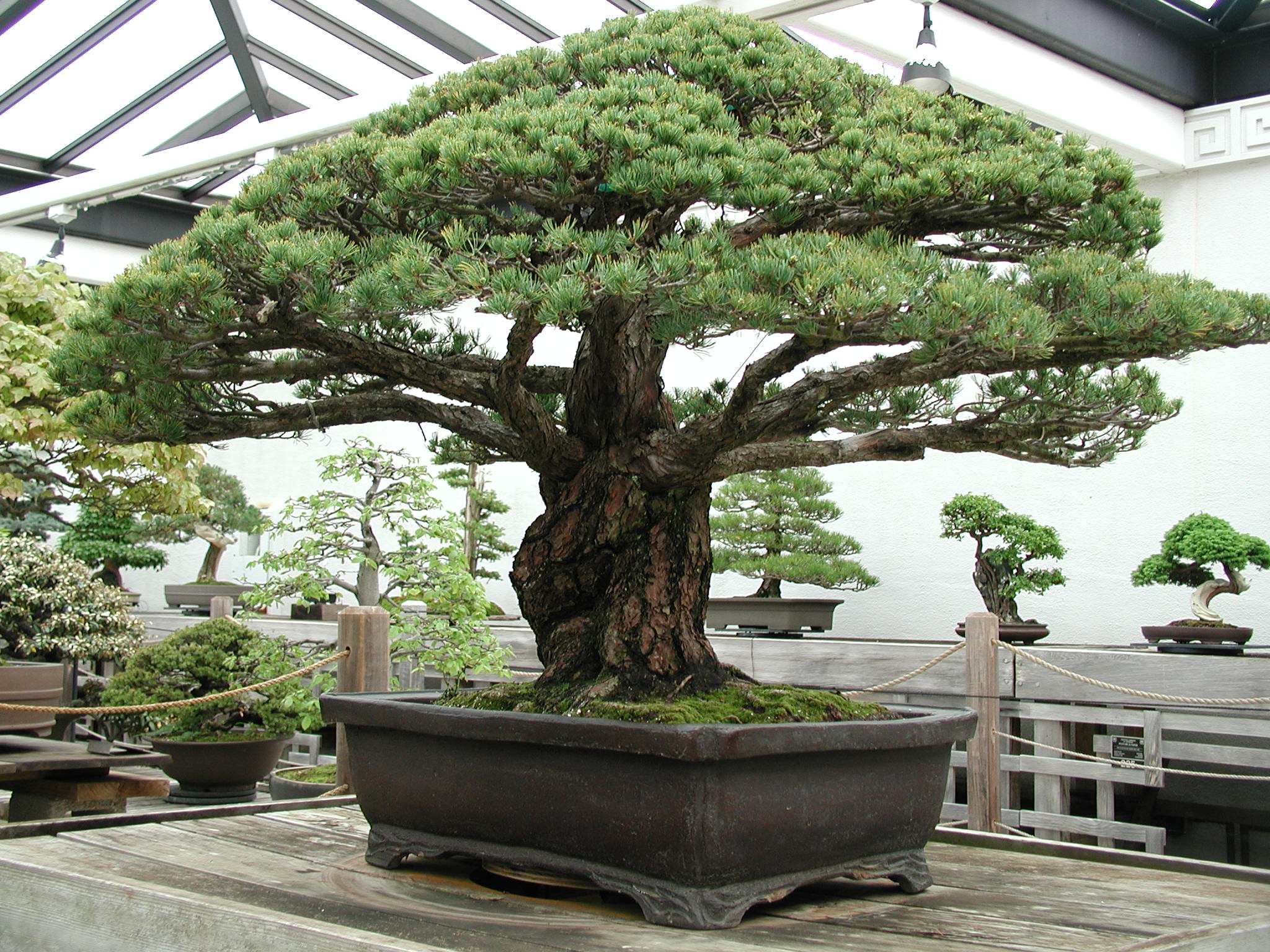 ... This Incredible 388-Year-Old Bonsai Tree Survived The Hiroshima .