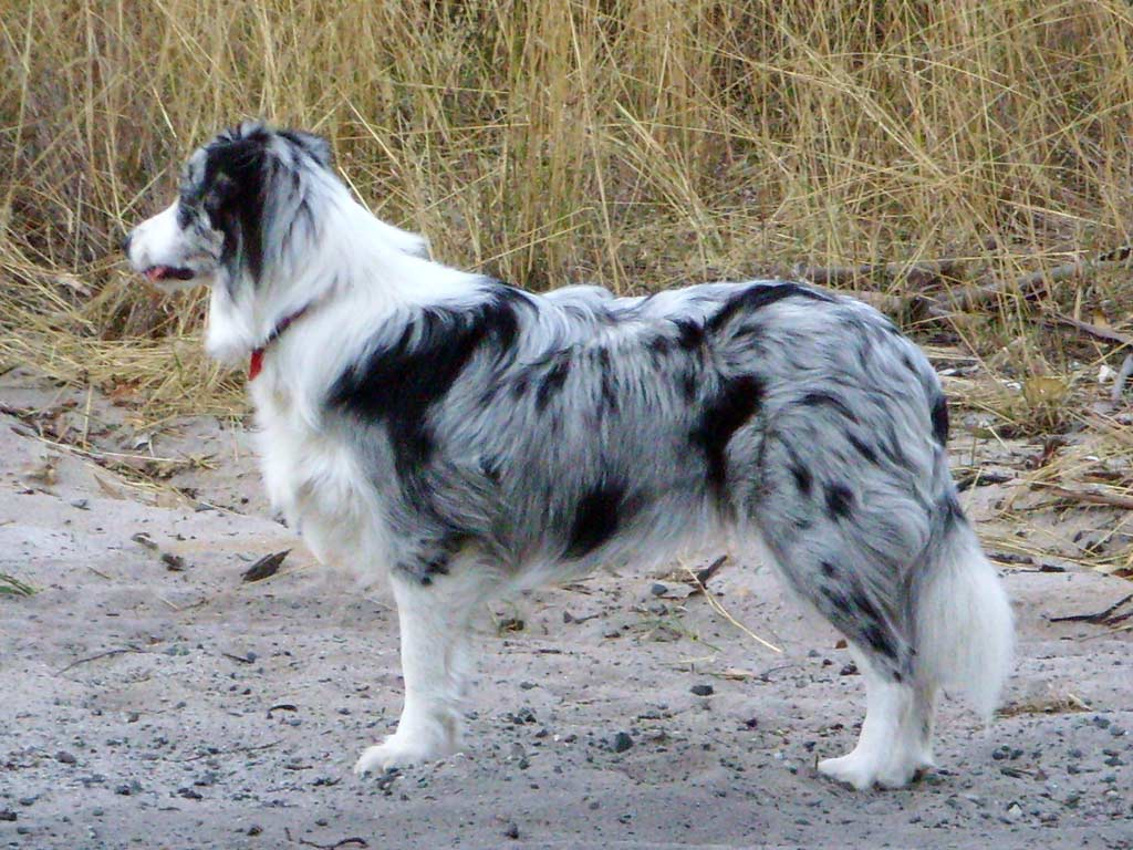 Blue merle Border Collie.