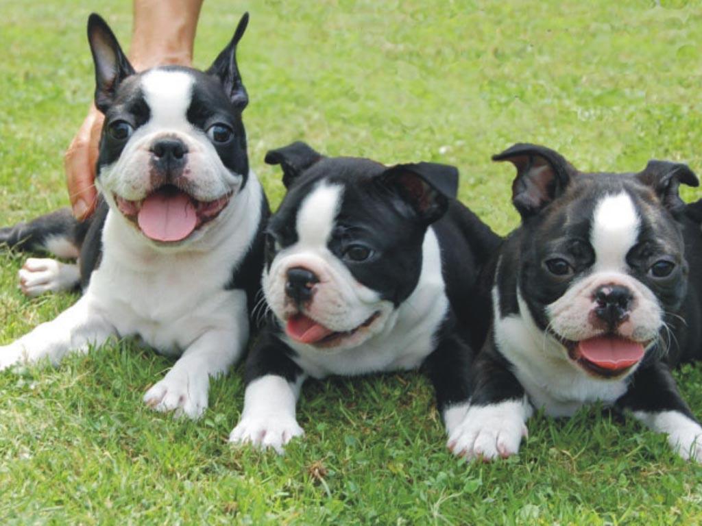 Boston Terrier Puppy Pictures