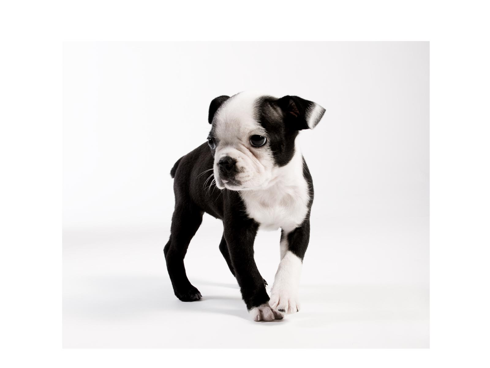 Boston terrier puppy wallpaper