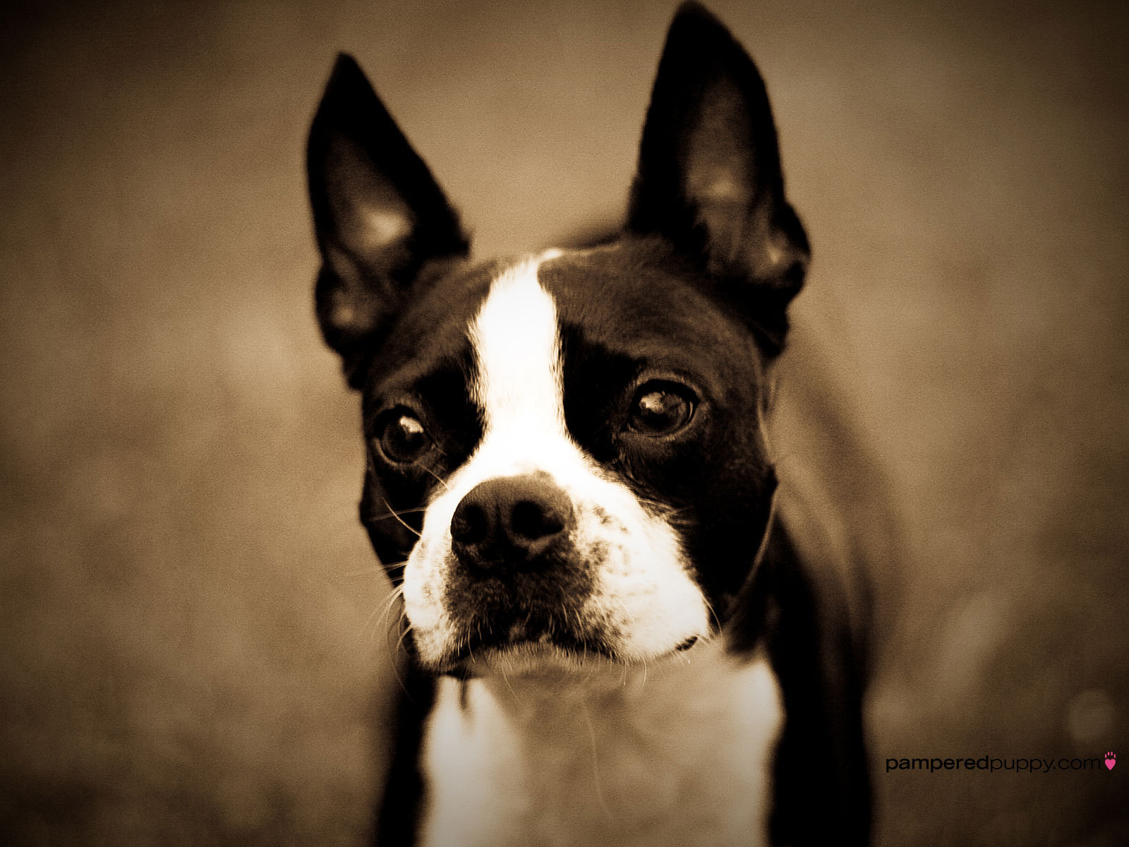 All Small Dogs Boston Terrier