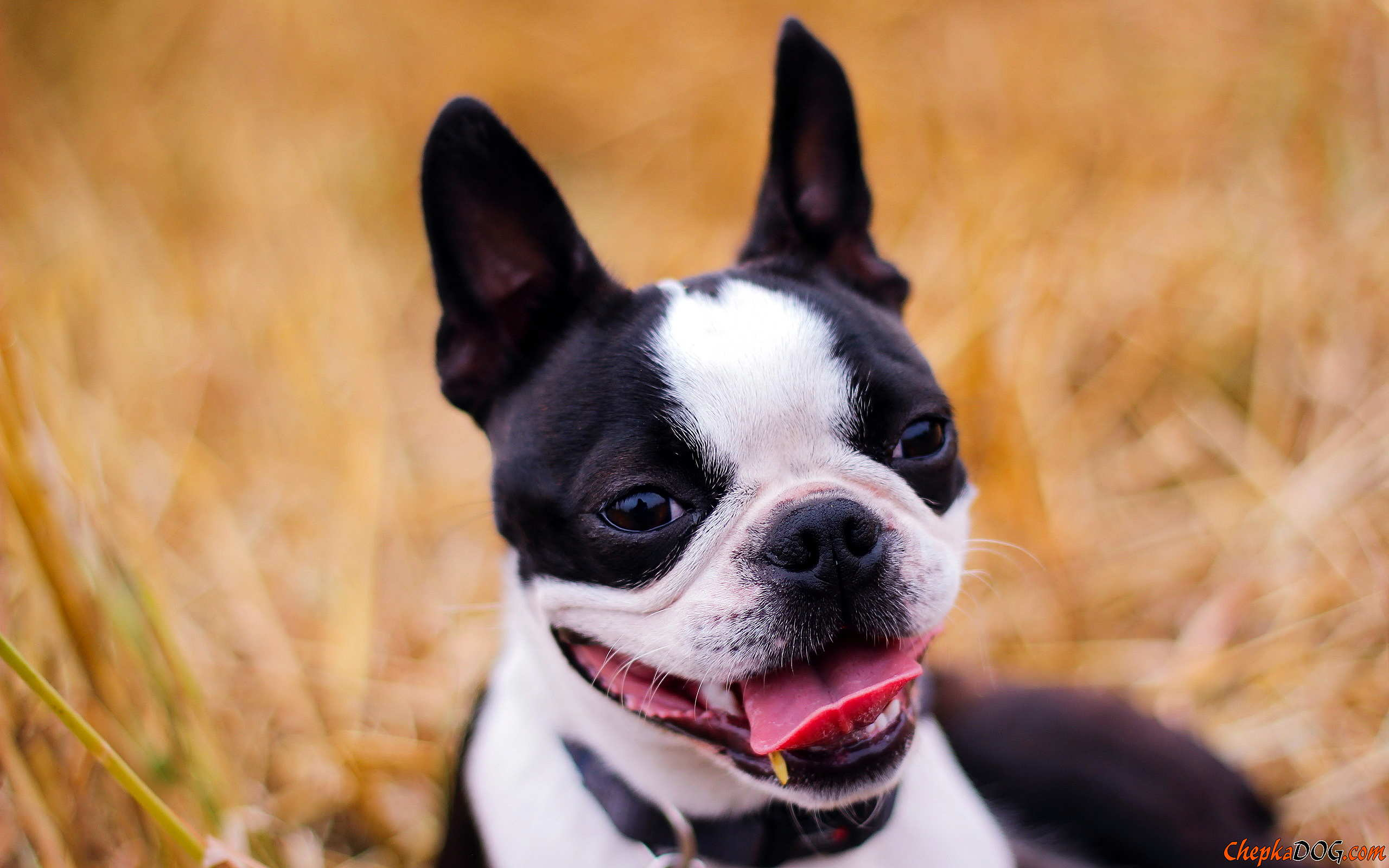 American dog boston terrier.