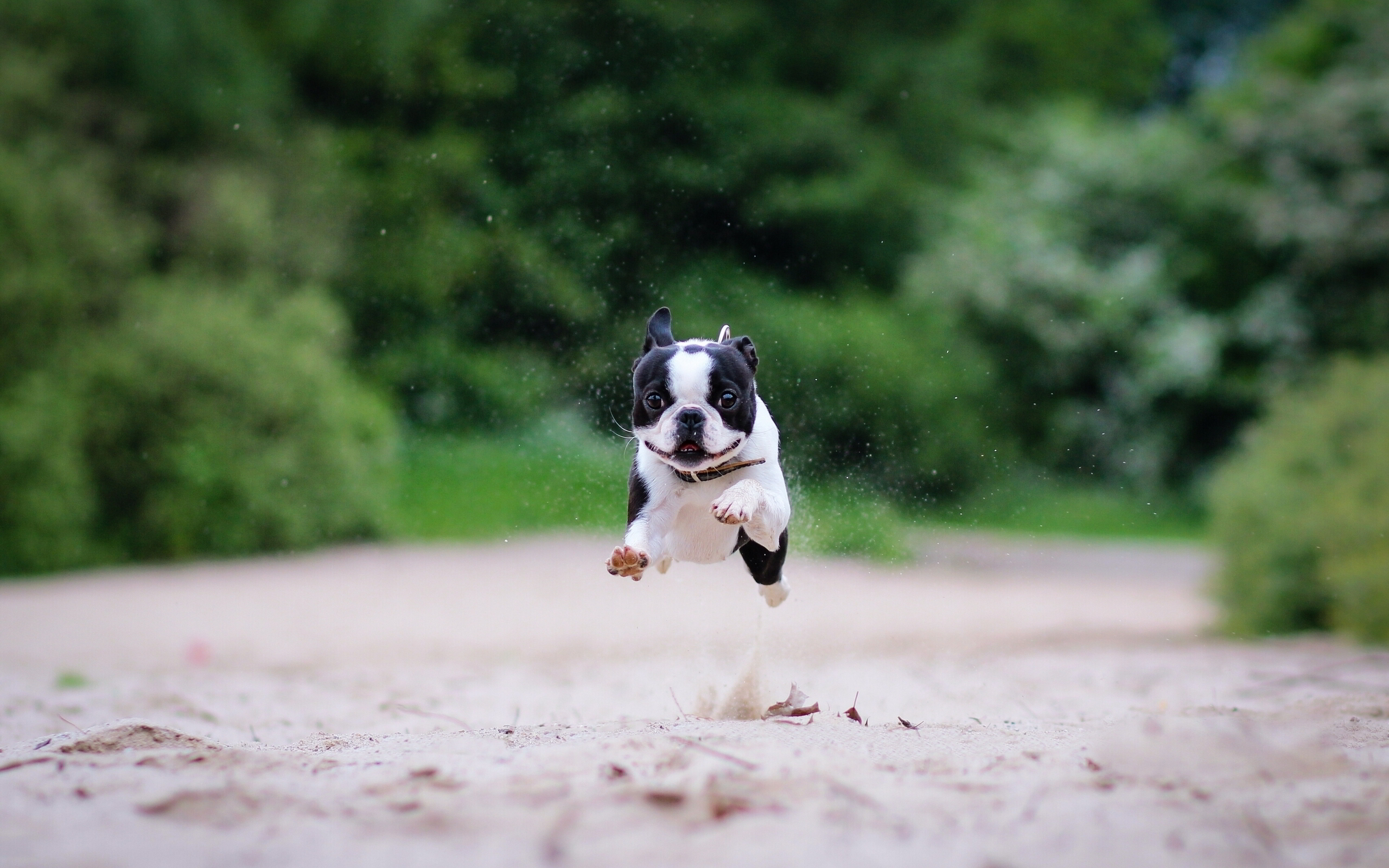 Boston terrier funny run