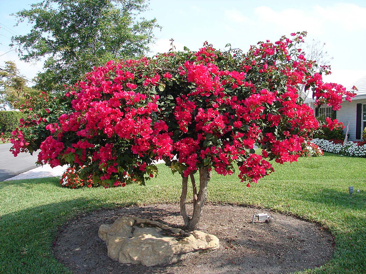 The hot pink color you see in the photo are the bracts. In the open landscape, you need to closely examine a bract to see the small white flowers at the ...