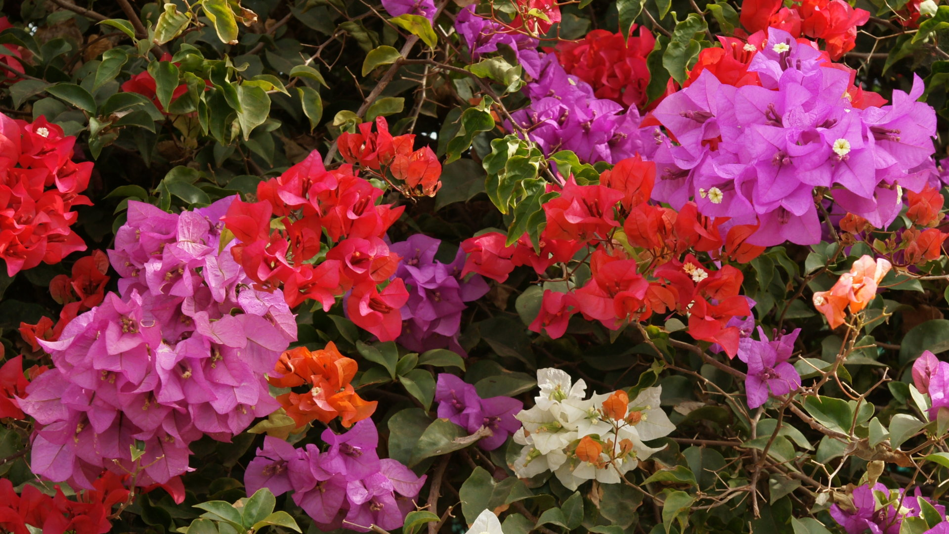 Bougainvillea Tree Multicolor