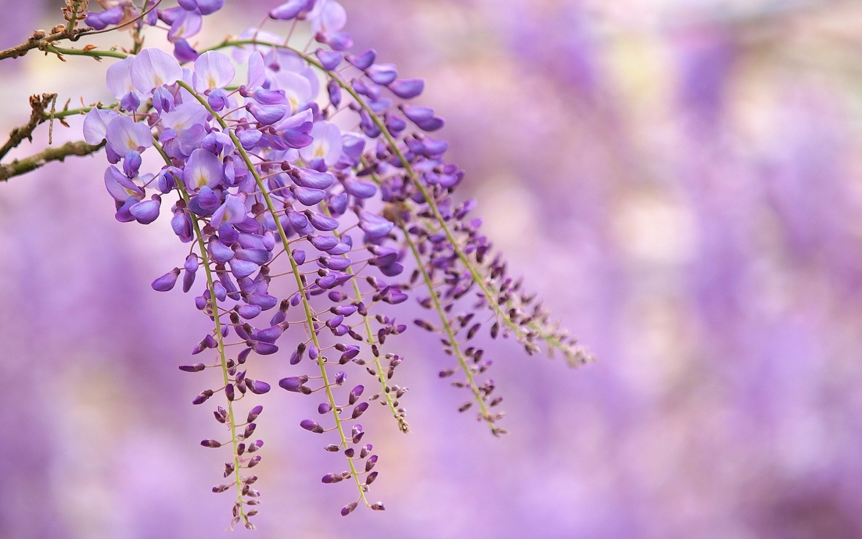 Branch Flowers Lilac Wisteria