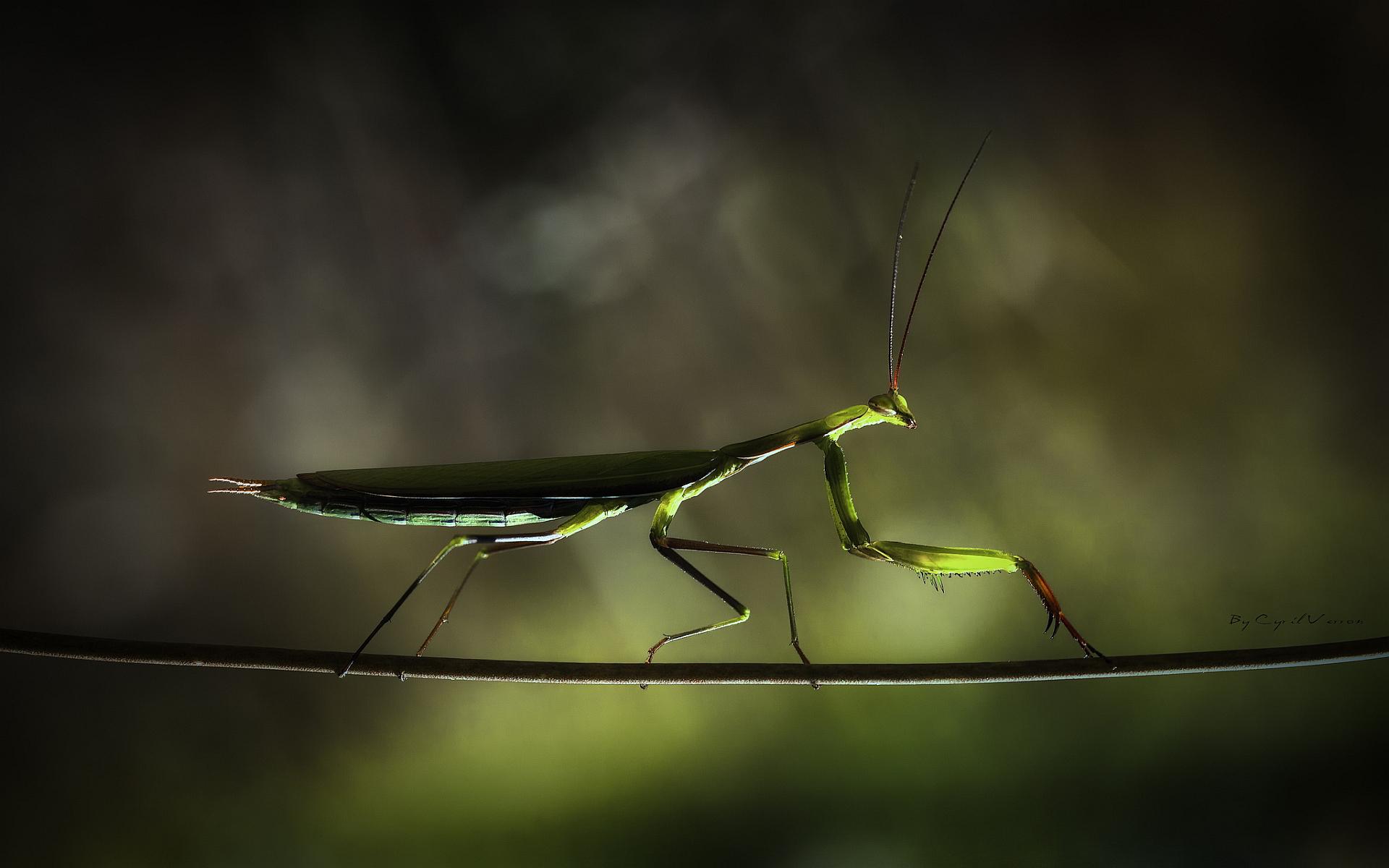 Branch mantis