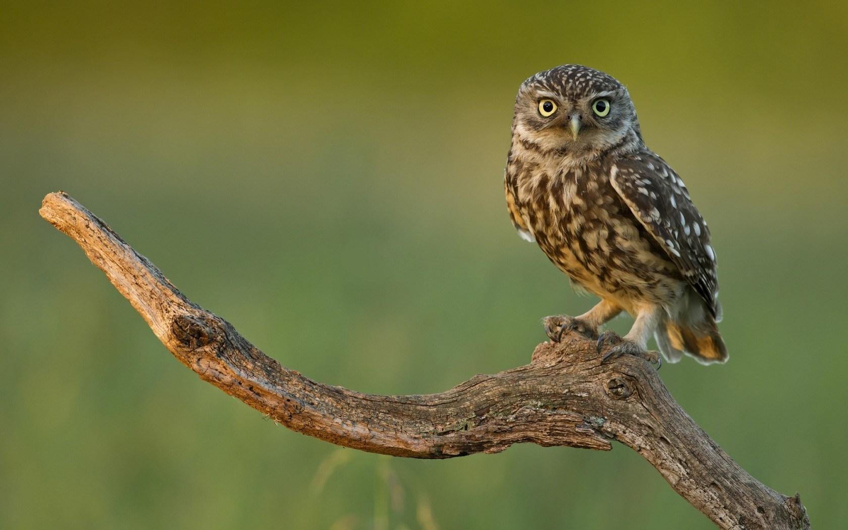 Owl Bird Nature Branch Dry Wood HD wallpaper 1680x1050 ...