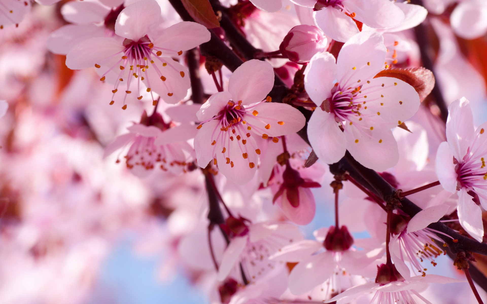 cherry flowers branch spring blossom blossoms wallpaper background