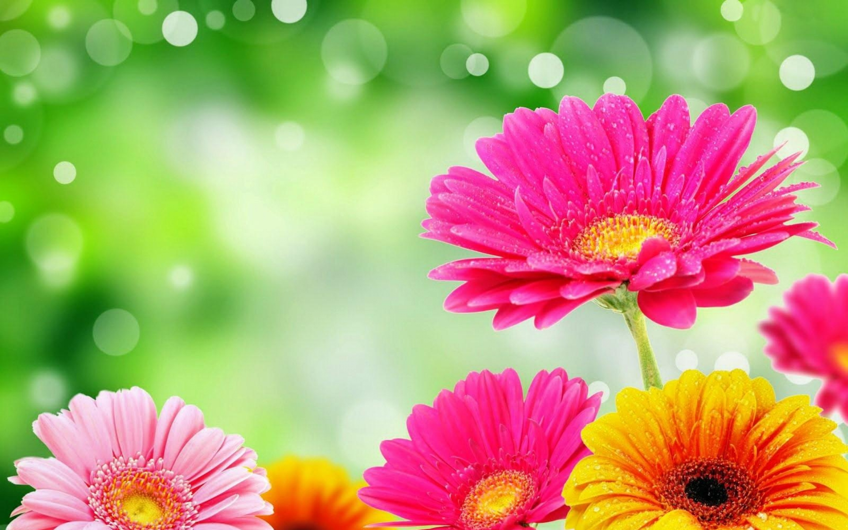 Gerbera Glare Drop Bright Colorful Flowers HD Wallpaper Gerbera Glare Drop Bright Colorful Flowers HD Wallpaper