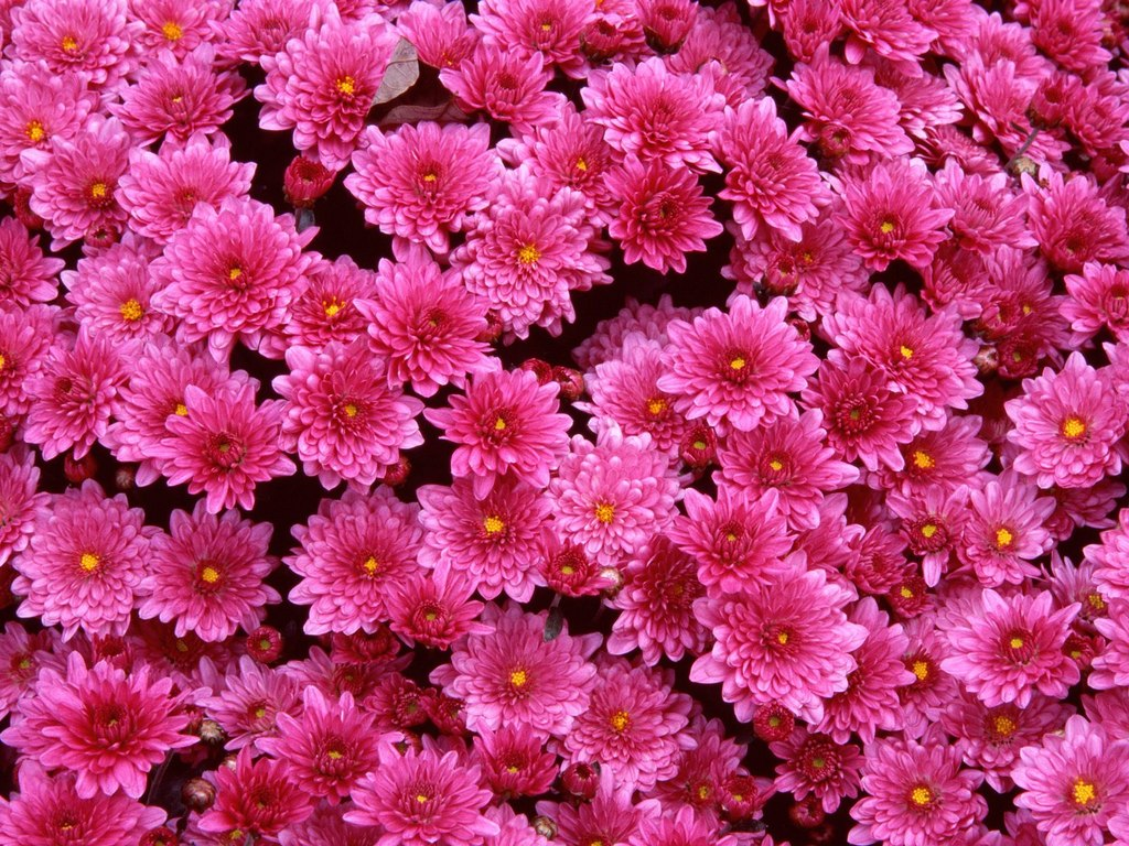 Massive Bunch Of Bright Pink Flowers