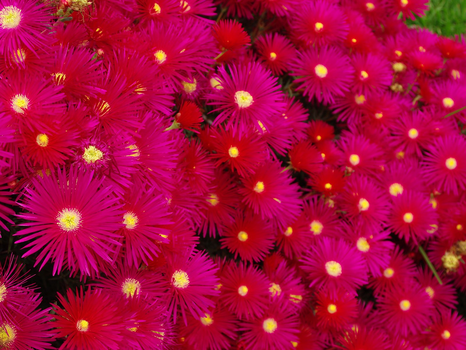 Hot Pink Flowers Wallpaper 1600x1200px