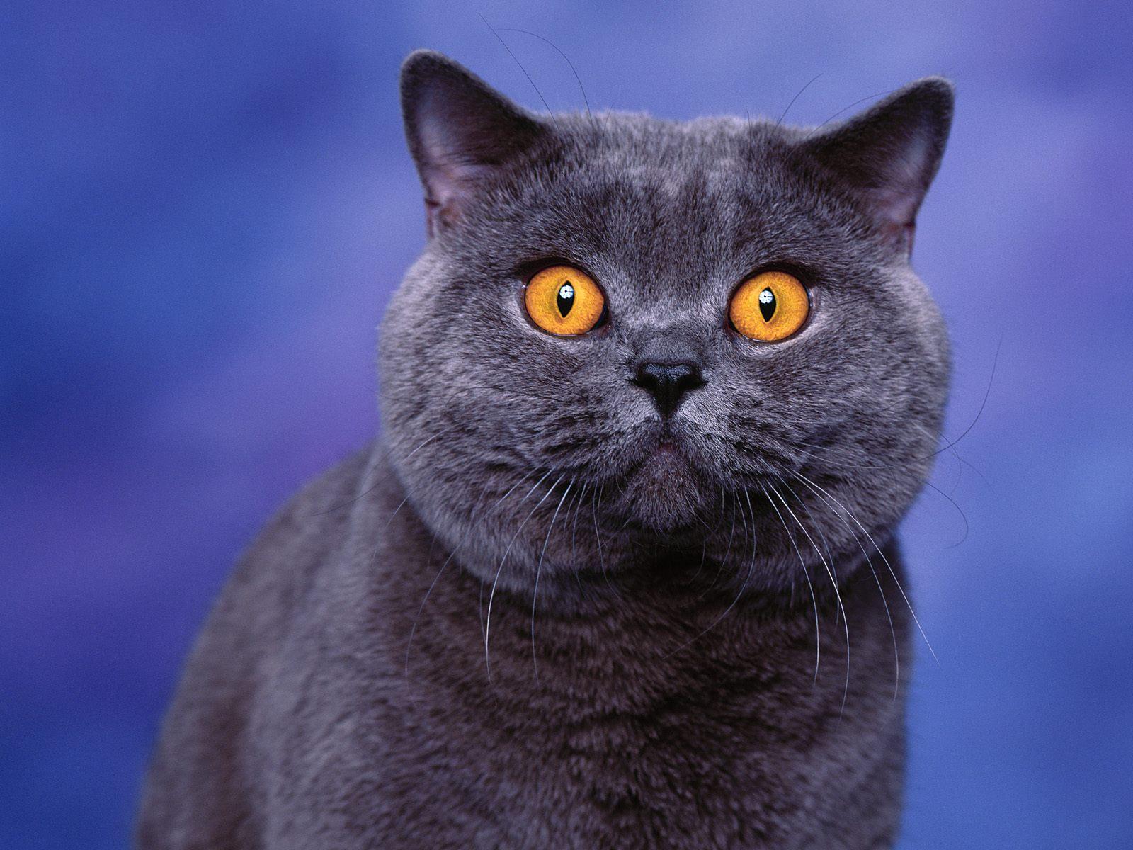 Blue British Shorthair Cat desktop wallpaper