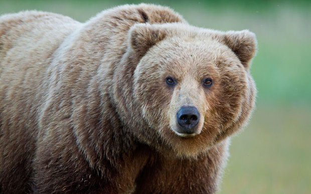 Italian farmers call for reintroduced brown bears to be shot - Telegraph