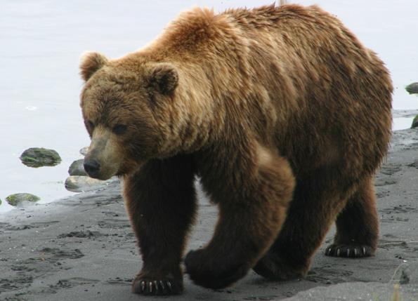 Brown Bear #4