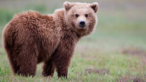 Brown Bear #3