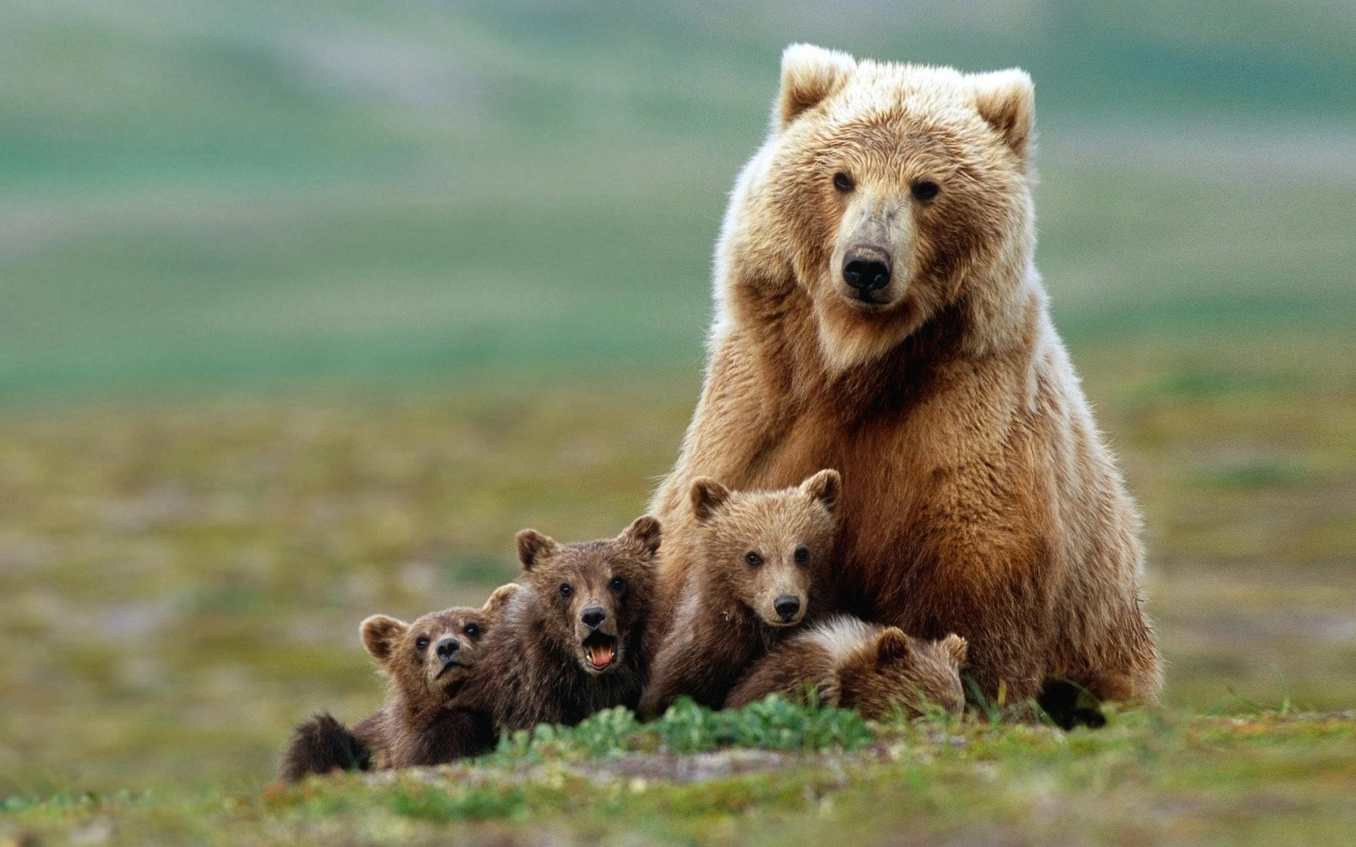 Brown Bear #5