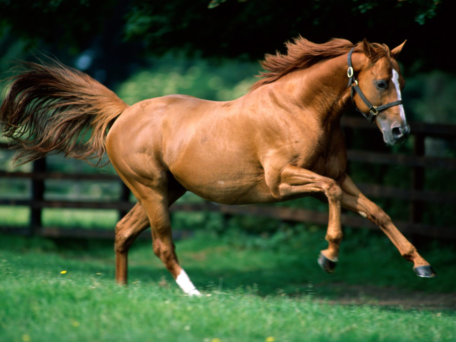 Download Full HD Wallpapers absolutely free for your pc desktop, laptop and mobile devices. Brown Horse Running wallpapers