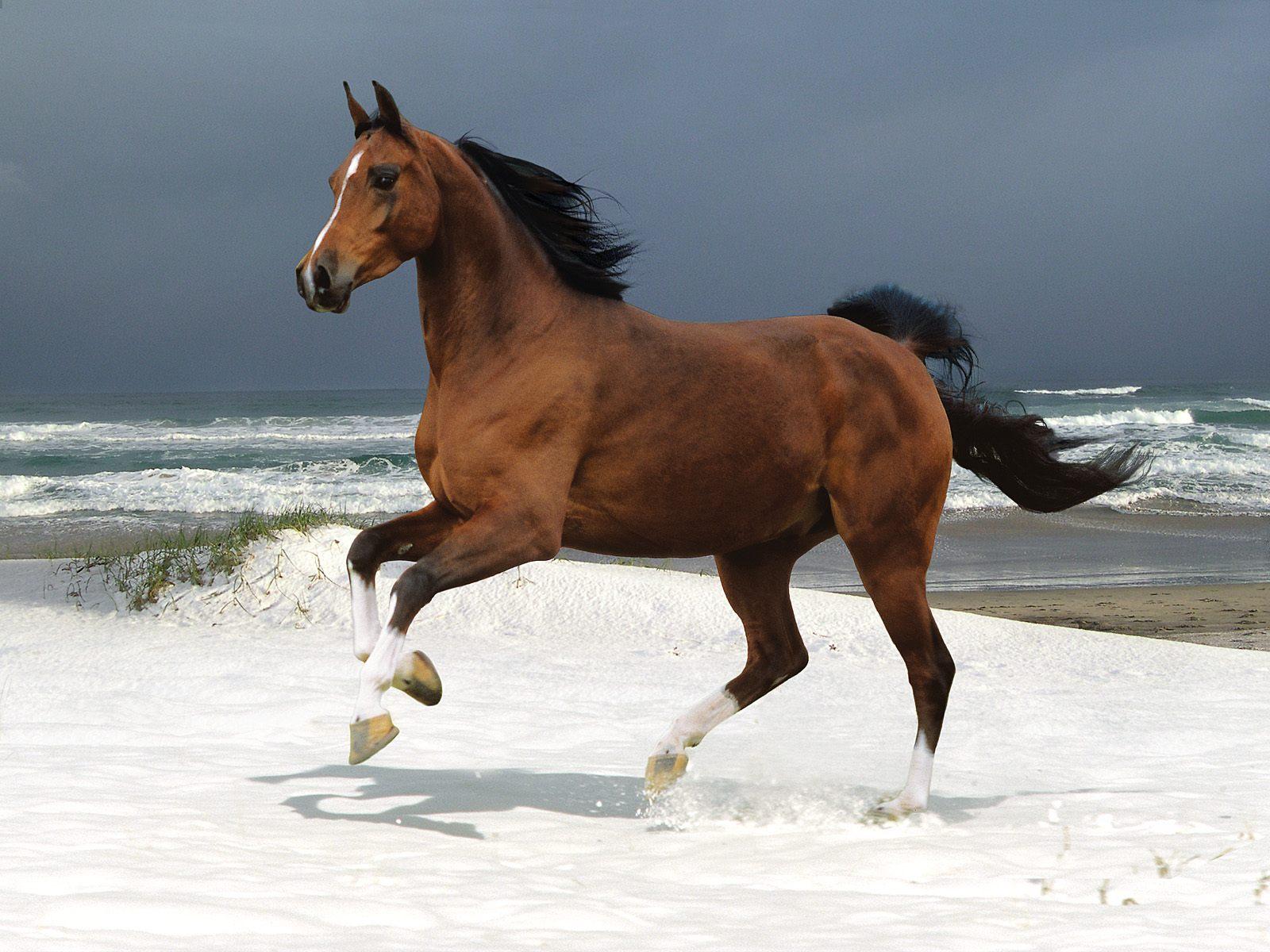 Animals brown horses ocean running wallpaper HQ WALLPAPER - (#172820)