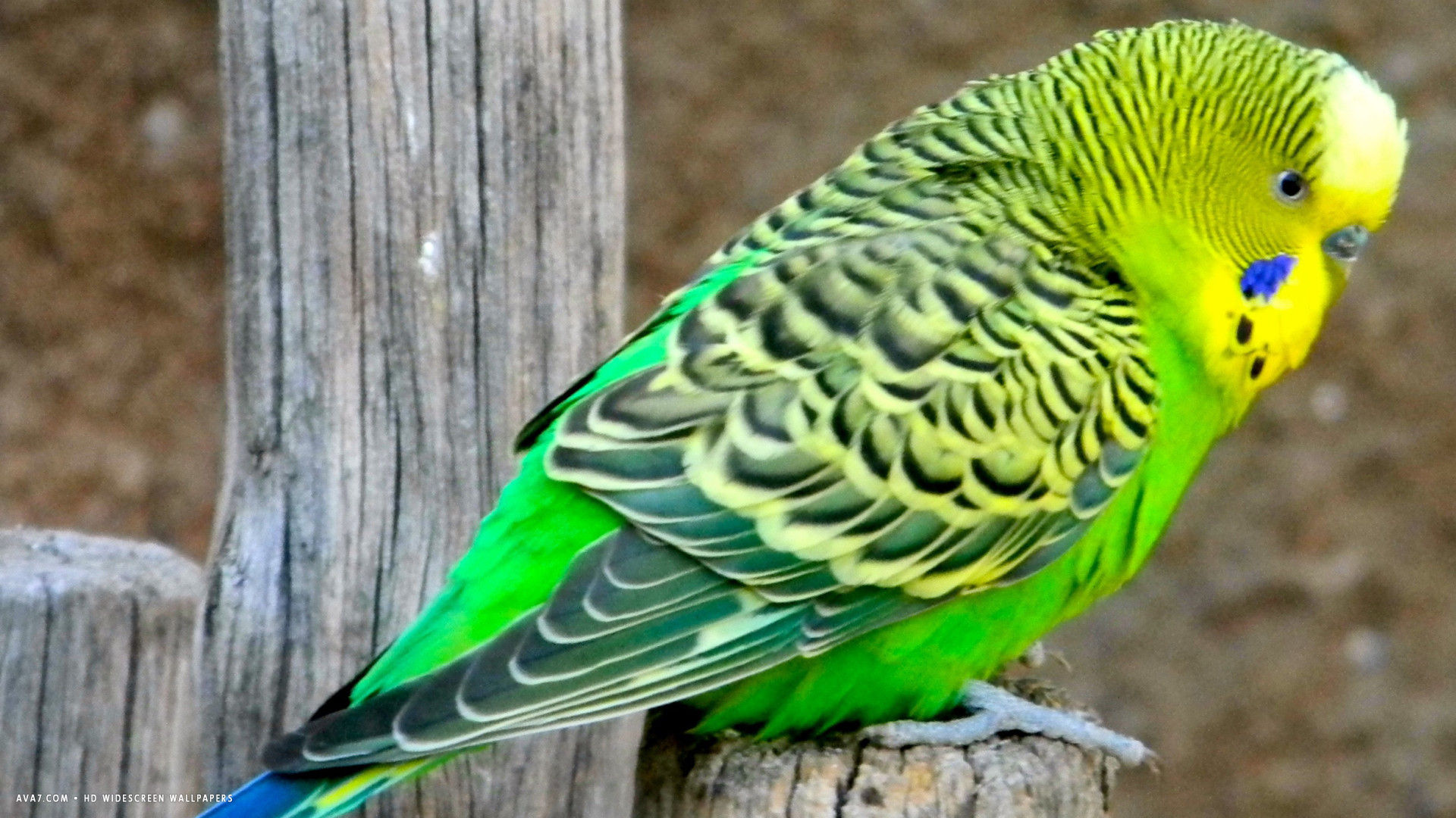 budgie australian parrot budgerigar bird green hd widescreen wallpaper