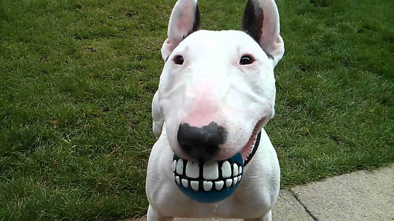 cute bull terrier ball