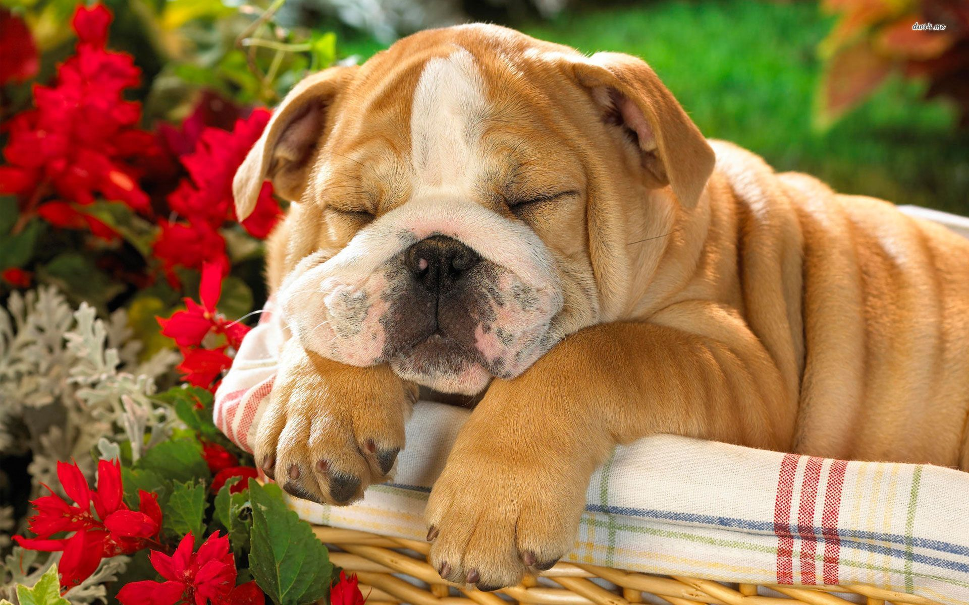Puppy Bulldog Wallpaper Picture