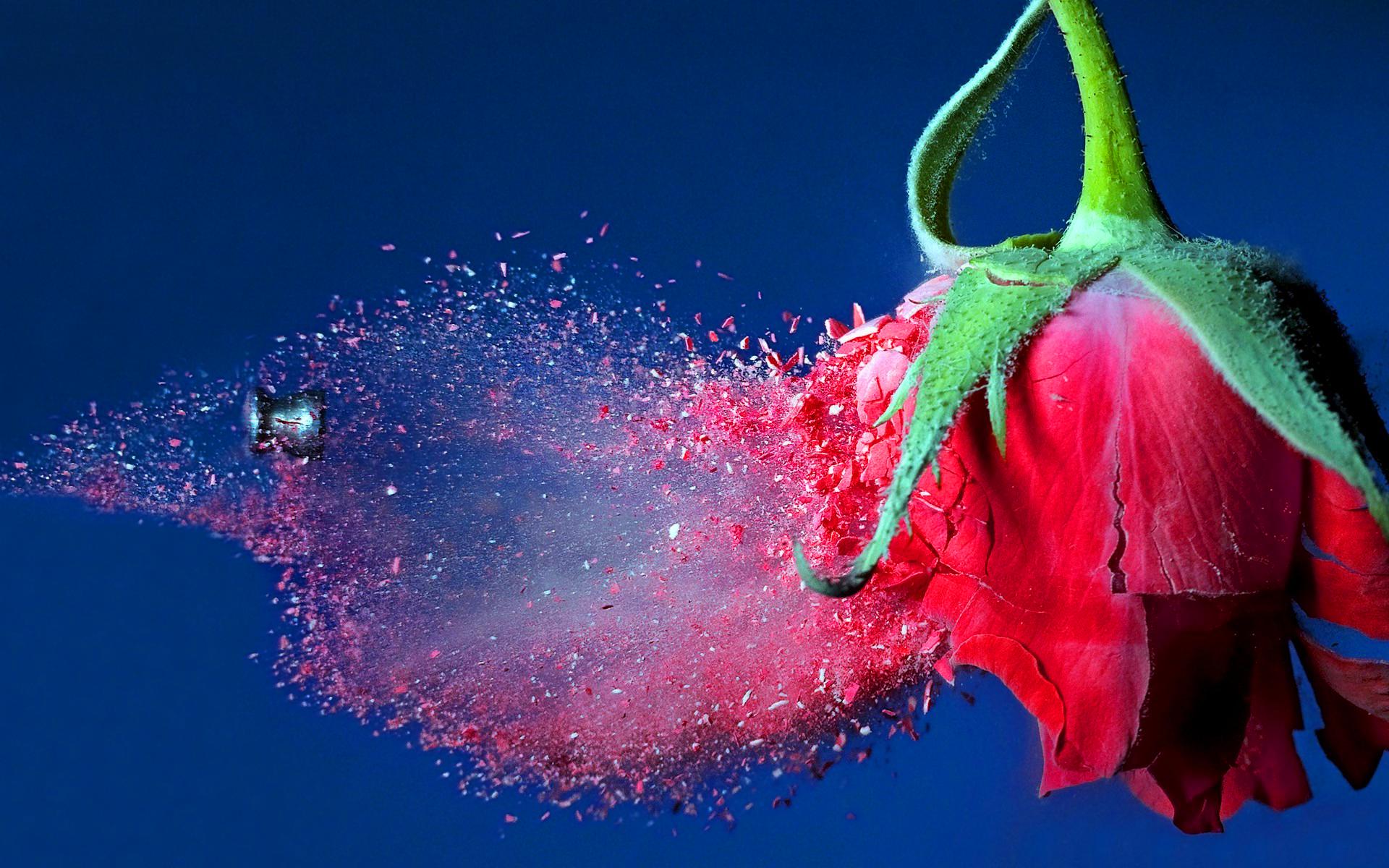Bullet through rose