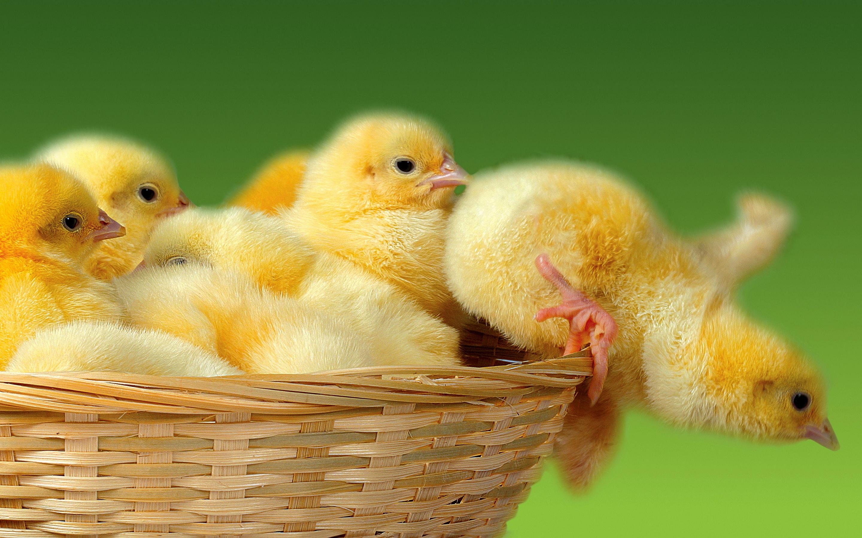 Bunch yellow chicks