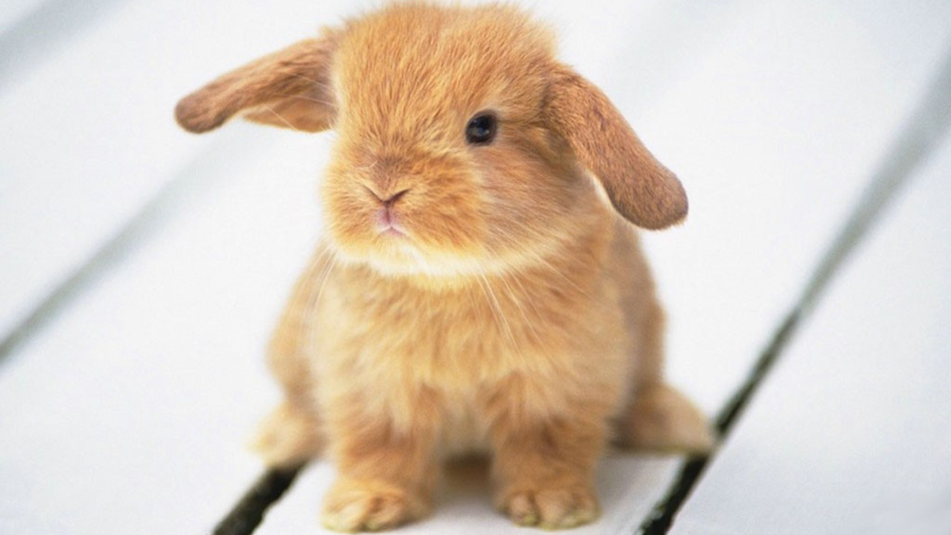 Baby Bunny Wallpaper 39767